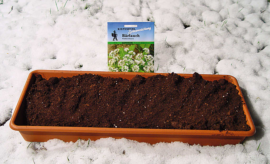 Bärlauch anpflanzen