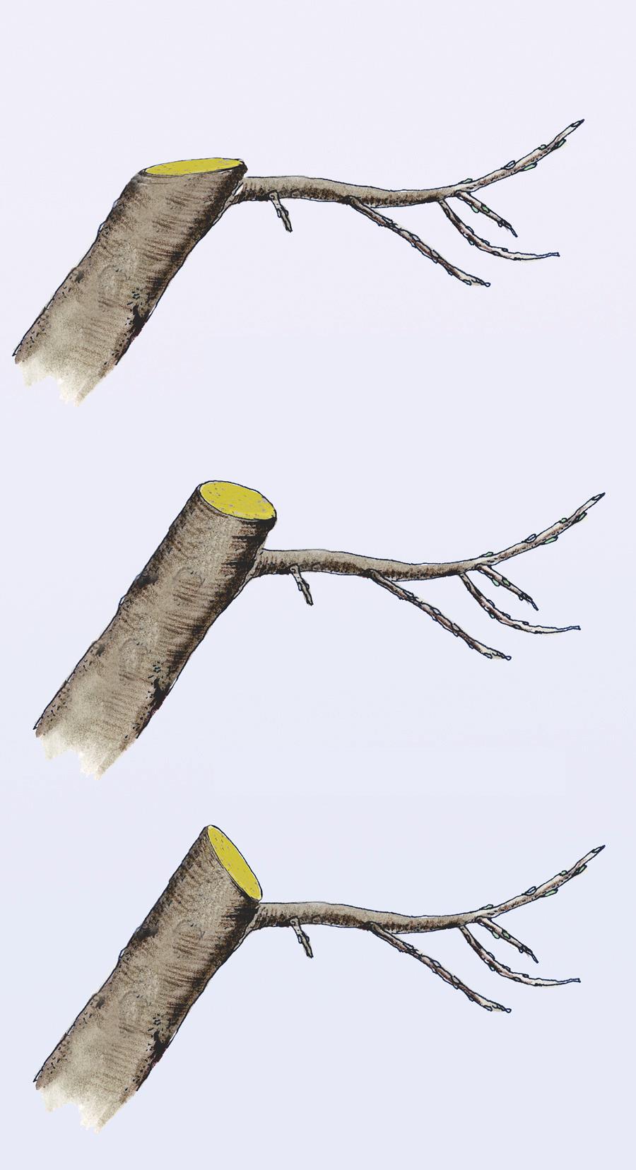 Turbo Apfelbaum schneiden | selbst.de KB98