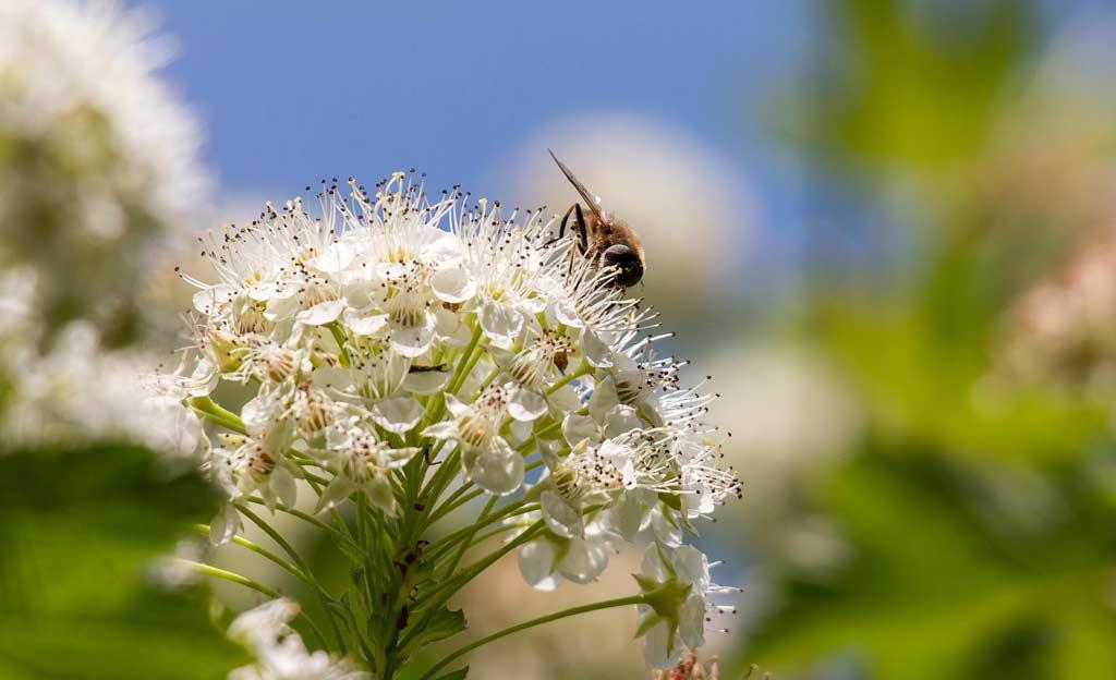 Blasenspiere mit Biene