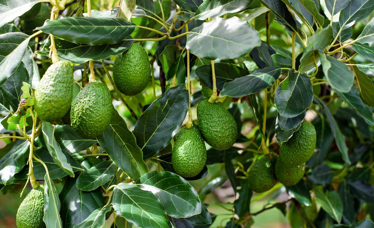 Avocado pflanzen   selbst.de