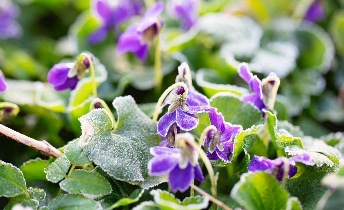 Frostschäden an Pflanzen   selbst.de