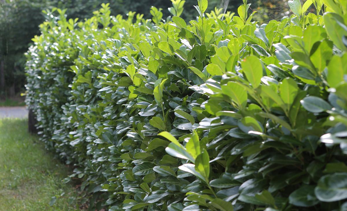 Kirschlorbeer (Prunus laurocerasus)