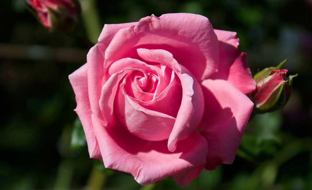 Rosen treiben zu früh aus: Was jetzt?   selbst.de