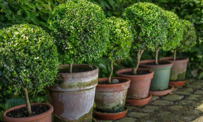 Buchsbaum umpflanzen   selbst.de