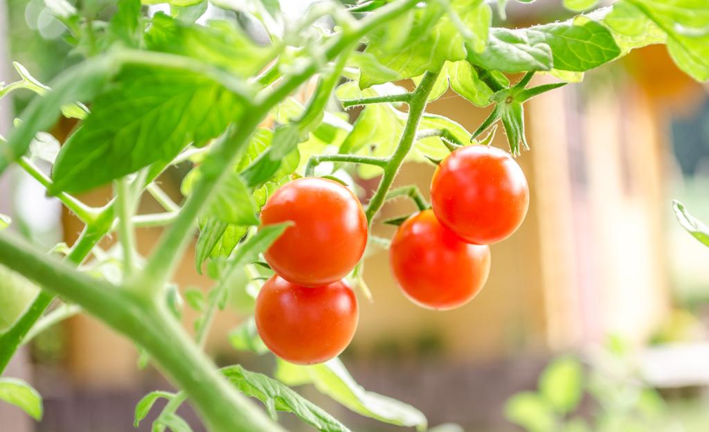 tomaten anpflanzen. Black Bedroom Furniture Sets. Home Design Ideas