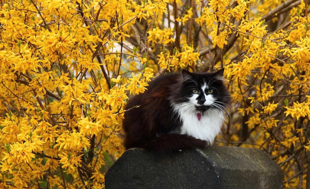 Forsythie mit Katze davor