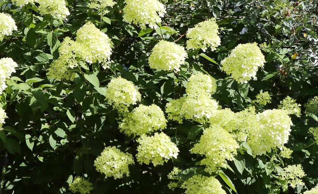 Hortensien schneiden