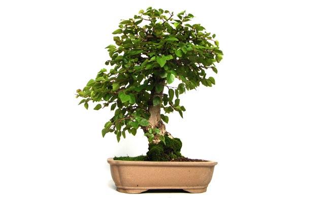 bonsai arten ein st ck japan f r zuhause bonsai arten und. Black Bedroom Furniture Sets. Home Design Ideas