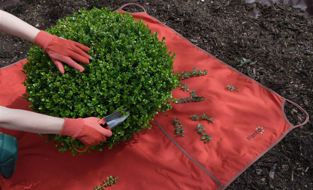 Buchsbaum schneiden: Laubfangdecke