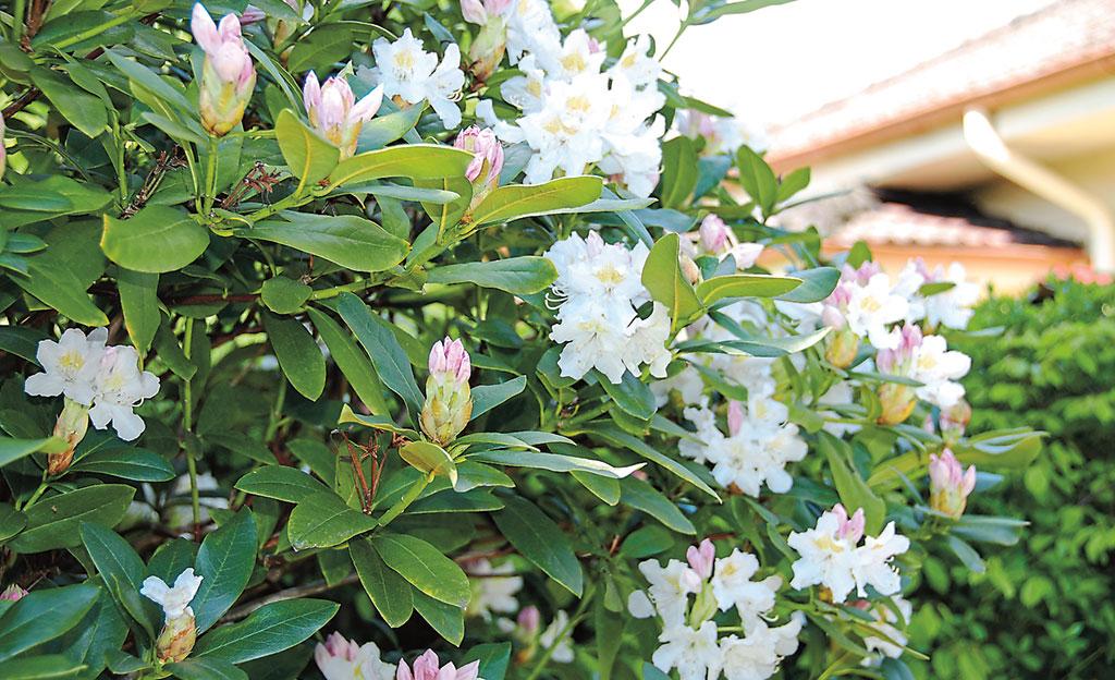 Rhododendron pflegen