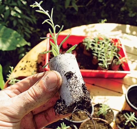 lavendel vermehren pflanzen s en pikieren. Black Bedroom Furniture Sets. Home Design Ideas