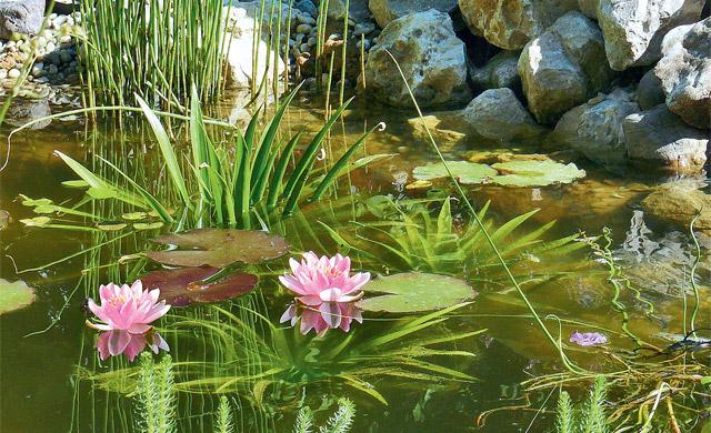 Teich bepflanzen teich anlegen for Gartenteich bepflanzen
