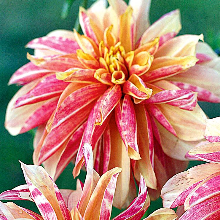 Atemberaubend Dahlie pflanzen | selbst.de &LI_16