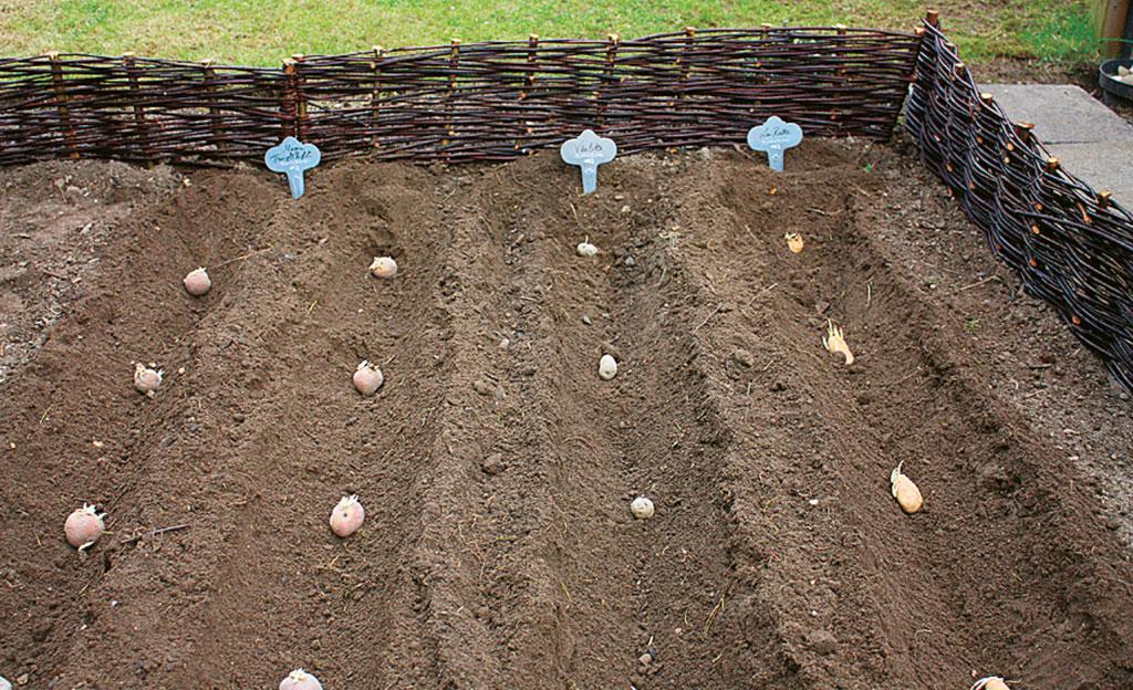 Kartoffeln anpflanzen