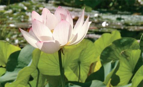 Lotus ziehen
