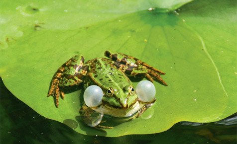 Frosch, Molch & Co.: Tiere im Teich