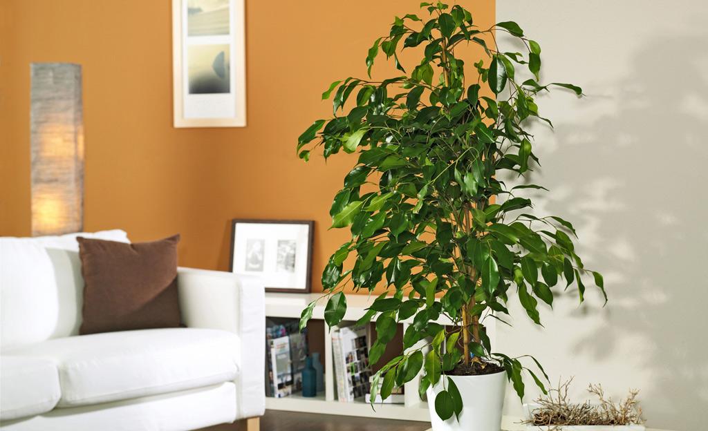 Gummibaum und andere Zimmerpflanzen