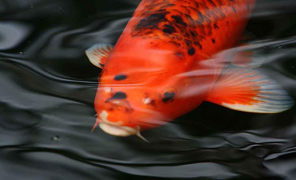 Koi koi teich teich anlegen for Koi mit goldfischen