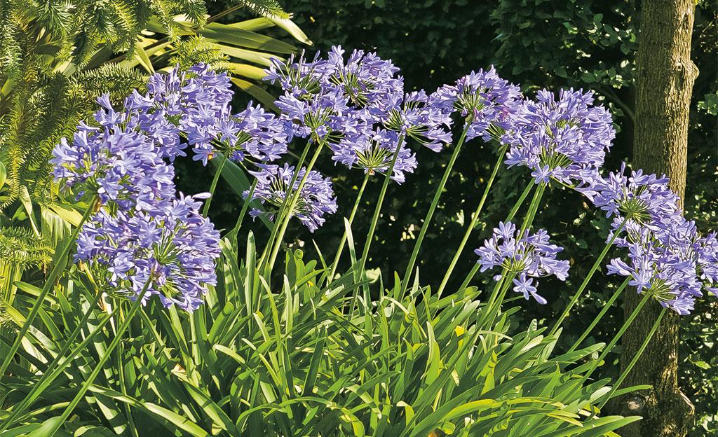 Schmucklilien: unkomplizierte Schönheit