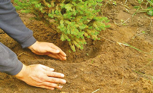 Tannenbaum einpflanzen