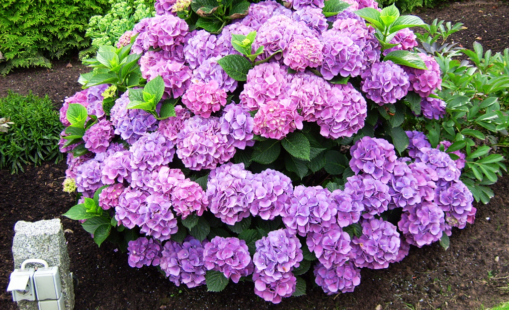 Stecklinge: Hortensien vermehren