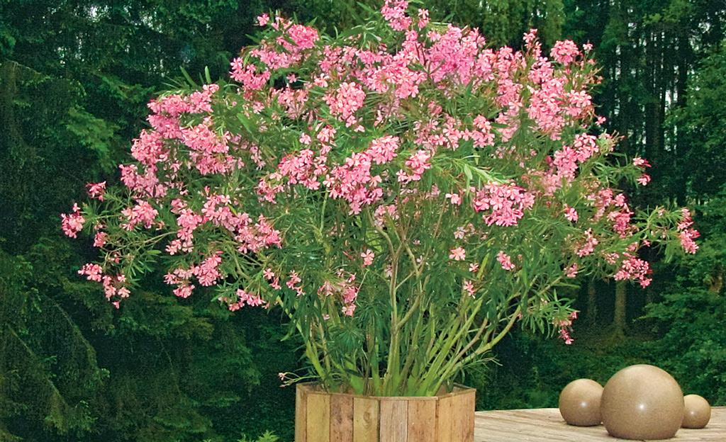 oleander berwintern ziergarten. Black Bedroom Furniture Sets. Home Design Ideas