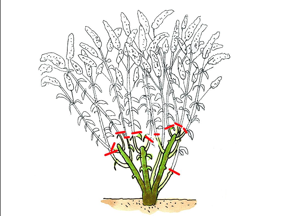 Strauchschnitt: Sommerblüher schneiden