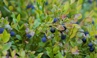 Blaubeeren pflanzen