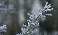 Rosmarin mit Schnee