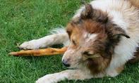 Welche Pflanzen sind für Hunde giftig?