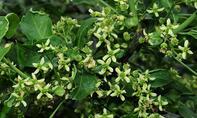 Blüte der Giftpflanze