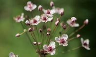 Heimische Schwanenblume