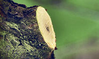 Baumpflege: Wundversorgung