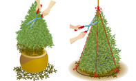 Buchsbaum schneiden