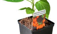 Chili anpflanzen