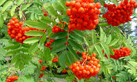 Beeren an Giftpflanzen