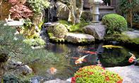Koi: Koi-Karpfen im Teich