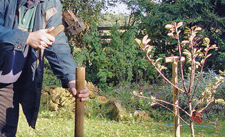 Schützen SIe Ihre Jungbäume vor den Herbststürmen!
