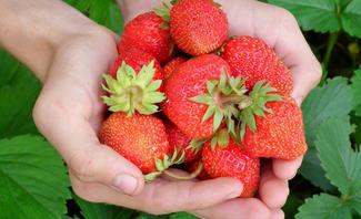 Erdbeeren pflanzen