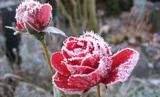 Rosen winterfest machen