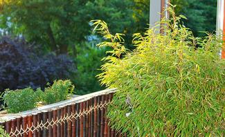 Bambus anpflanzen