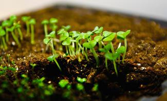 Mit den richtigen Voraussetzungen können Sie selbst Basilikum pflanzen.
