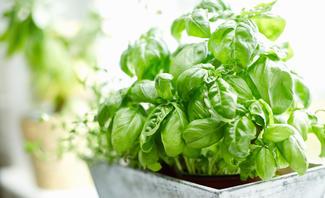 Basilikum gehört zu den beliebtesten Küchenkräutern.