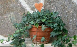 Efeupflanze im Topf