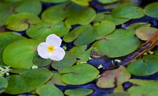 Wie kleine Seerosenblätter schwimmt der Froschbiss auf dem Wasser.