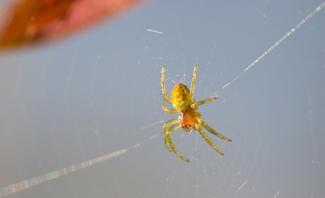 Giftspinnen