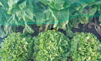 Gemüse unter Gemüseschutznetz