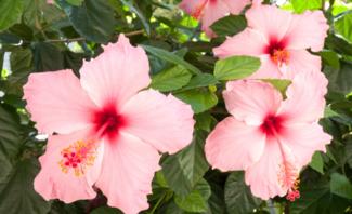 Rosa Hibiskusblüten
