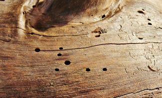 Holzwurm-Löcher in Holz