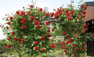 Rote Kletterrosen an einem Rosenbogen